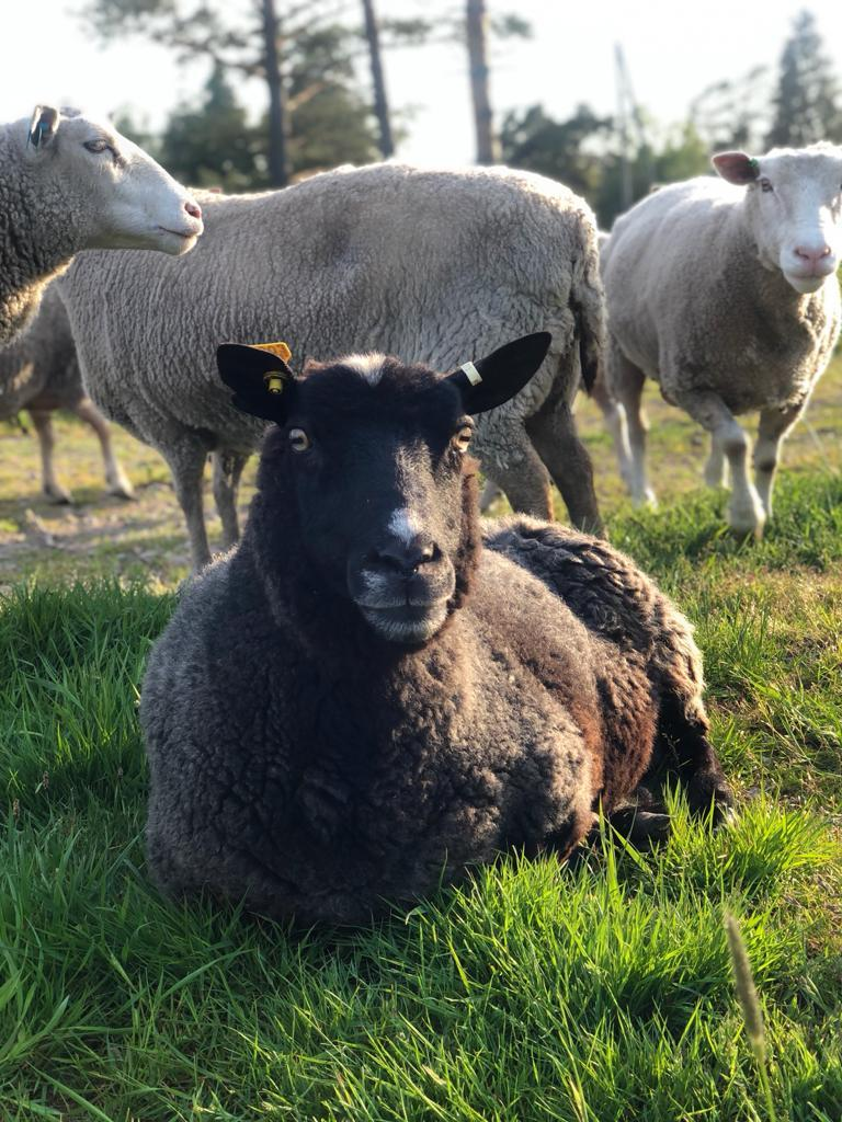 Westankärr gård lammas