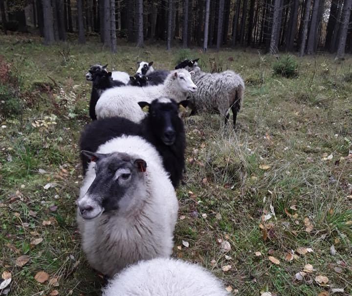 Vanhalan Villalammas on pieni lammastila Laitila
